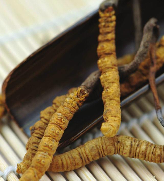 cordyceps, kínai hernyógomba